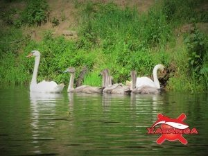 Семейством лебедей, которые преследовали нашу группу на протяжении одного из отрезков пути.